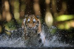 Syberyjskiego tygrysa polowanie w rzece od zbliżenie frontowego widoku Fotografia Stock