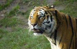 Syberyjskiego tygrysa portret Fotografia Royalty Free