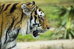 Syberyjskiego tygrysa ` s profil Obraz Royalty Free