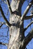 sycamora树树干  免版税库存照片