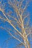 sycamore λευκό δέντρων Στοκ φωτογραφία με δικαίωμα ελεύθερης χρήσης