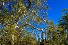 Sycamore της Αριζόνα στα βουνά Chiricahua της Αριζόνα στοκ φωτογραφίες