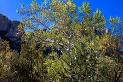 Sycamore της Αριζόνα στα βουνά Chiricahua της Αριζόνα στοκ εικόνες