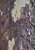Sycamore φλοιός δέντρων στοκ φωτογραφίες με δικαίωμα ελεύθερης χρήσης