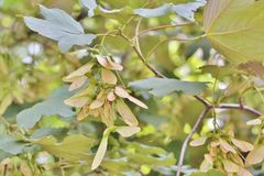 Sycamore φρούτα σφενδάμνου Στοκ Εικόνα