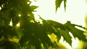Sycamore φύλλα στον ήλιο ρύθμισης απόθεμα βίντεο