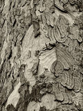 Sycamore φλοιός Στοκ φωτογραφίες με δικαίωμα ελεύθερης χρήσης