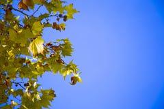 Sycamore& x27; листья s загоренные солнцем Стоковая Фотография RF