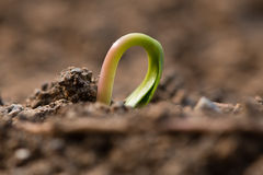 Sycamore Acer pseudoplatanus seedling emerging from earth Royalty Free Stock Photos