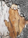 Sycamore bark Stock Images