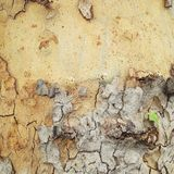 Sycamore bark Stock Photos