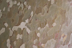 Sycamore bark. Close-up of a Sycamore tree trunk Stock Photography