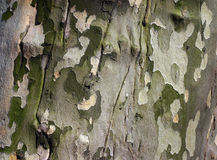 Sycamore Bark Stock Photo