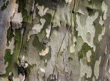 Sycamore Bark. Close-up of sycamore bark Stock Photo
