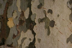 Sycamore bark background Stock Photography