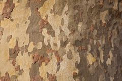 Sycamore bark Royalty Free Stock Images