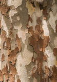 Sycamore bark closeup Stock Image