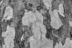 Sycamore bark grey texture. Grey texture or background of sycamore tree bark Stock Image