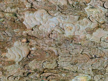 Sycamore bark with peeling layer patterns Stock Image
