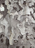 Sycamore bark texture Stock Images