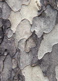 Sycamore bark texture Stock Image