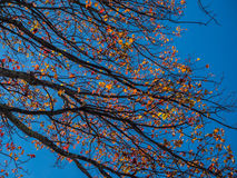 Colorful Autumn Sycamore Leaves against Bright, Blue Sky Royalty Free Stock Image