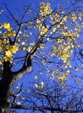 Sycamore dourado Fotos de Stock Royalty Free
