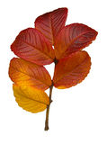 Sycamore fall leaves Royalty Free Stock Photo