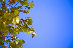 Sycamore& x27; folhas de s iluminadas pelo sol Fotografia de Stock Royalty Free