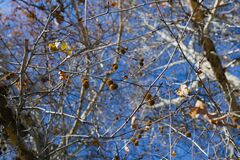 Sycamore fruit on a tree branch in autumn