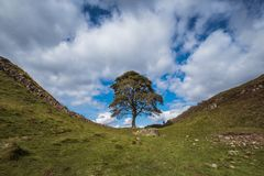 Sycamore Gap on Hadrians Wall. Famous sycamore tree in Sycamore Gap  beside Hadrian's (Roman) Wall and Castle Nick in Northumberland, North East England Royalty Free Stock Image