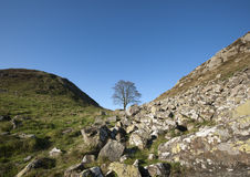 Sycamore Gap. The Sycamore tree at Sycamore Gap along the Hadrians Wall royalty free stock image
