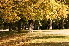 Sycamore in late october in park. Royalty Free Stock Photos