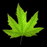 Sycamore leaf Royalty Free Stock Photo