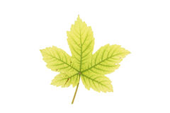 Sycamore leaf Royalty Free Stock Image