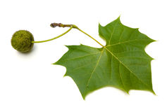 Sycamore Leaf. American Sycamore (Platanus occidentalis) leaf with fruit Stock Photo