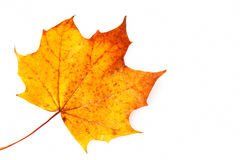 Free Sycamore Leaf Stock Image - 35407431