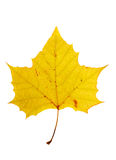 Sycamore Leaf Royalty Free Stock Photos