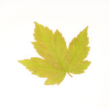 Sycamore leaf Stock Photos