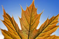 Sycamore Leaf Royalty Free Stock Images