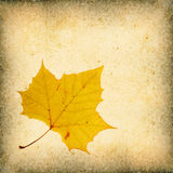 Sycamore Leaf Background Stock Image