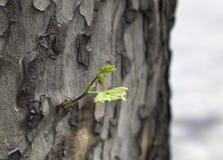 Sycamore leaf, close-up Stock Photos