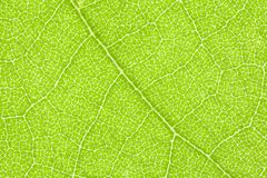 Sycamore Leaf Extreme Macro Detail Royalty Free Stock Photos