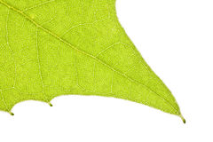 Sycamore Leaf Macro Detail Stock Photography