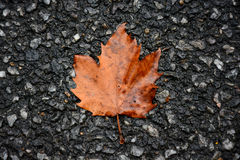 Sycamore leaf Stock Image