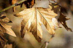 Sycamore leaf on tree Stock Photography