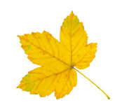 Sycamore leaf stock photography