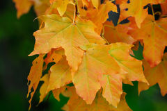 Sycamore leafs in autumn Stock Images