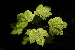 Sycamore Leaves Royalty Free Stock Photo