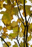 Sycamore leaves, Acer pseudoplatanus. Royalty Free Stock Photography